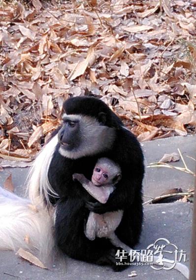 南京红山动物园新年喜降两只猴宝宝