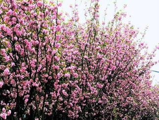 2017无锡国际赏樱周将开幕